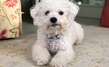 Bichon Frize dog