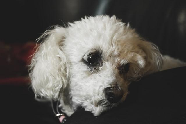 Bichon Frize dog