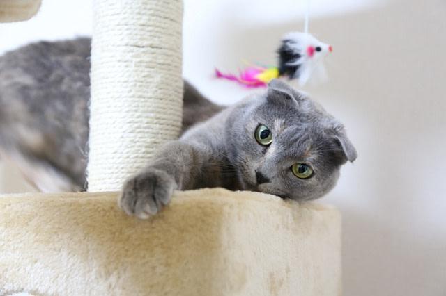 Scottish Fold cat playing