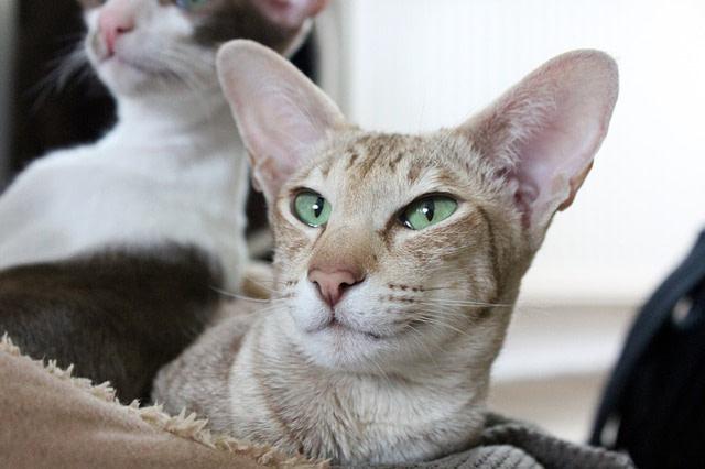 Oriental cat lying