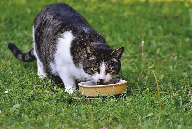 Sterilized cat eating in a bowel