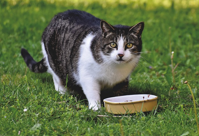 a sterilized cat eating food