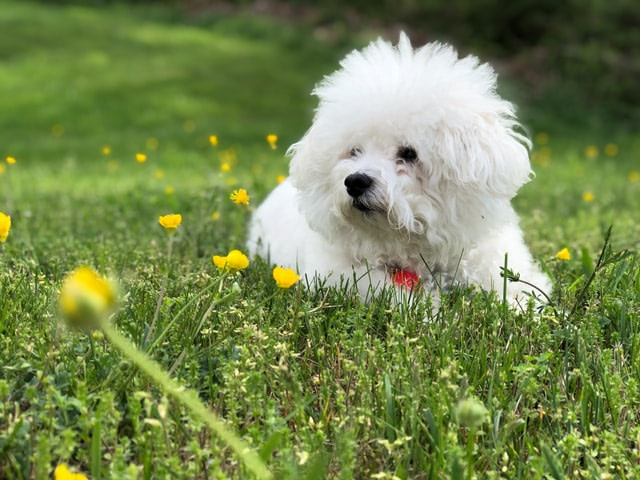 Bichon Frize dog lying on grass