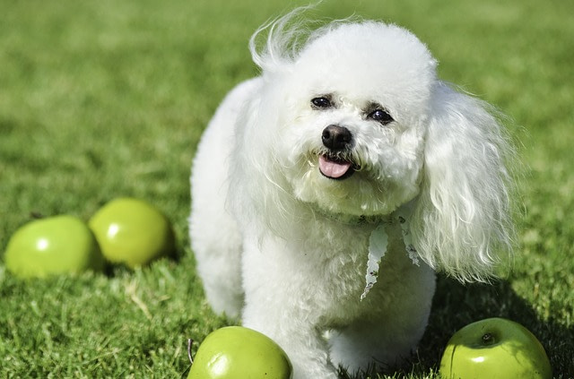 Bichon Frize dog outdoors