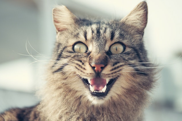 cat expressing aggression