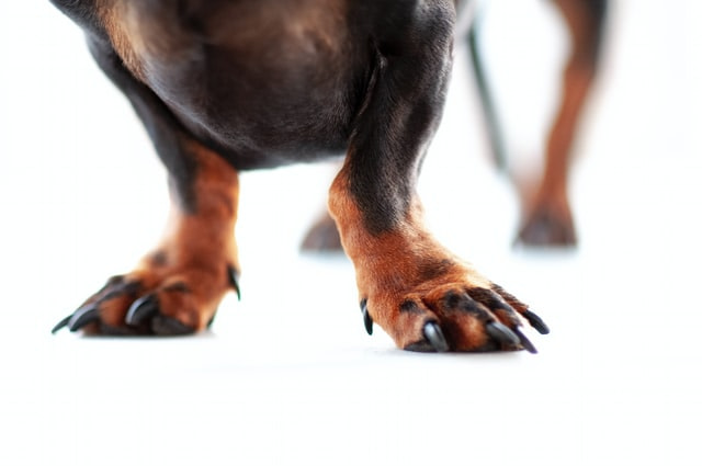 dog's claws