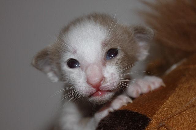 Oriental kitten