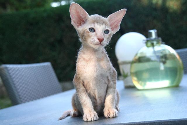 Oriental cat on table